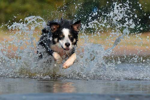 border collie perro