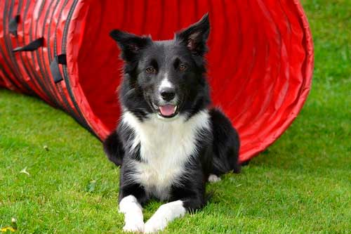 border collie raza