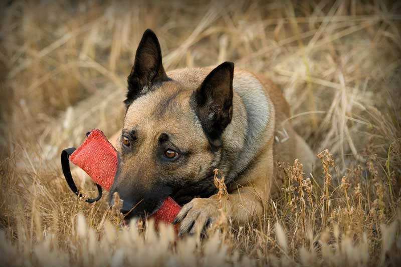 perro raza Malinois mordiendo un mordedor de tela con dos asas