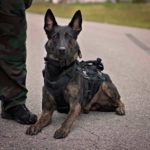 perro militar con collar y arnes