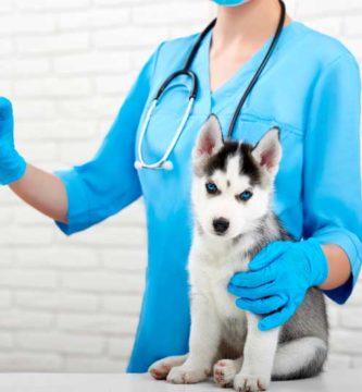 cuando poner vacunas perros