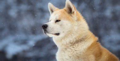 hachiko el perro fiel raza akita