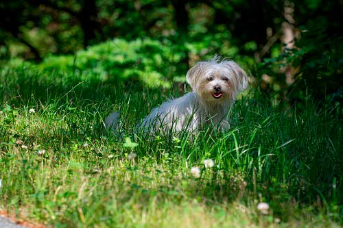 perro Bichón Maltés
