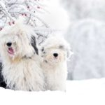 dos perros bobtail en la nieve