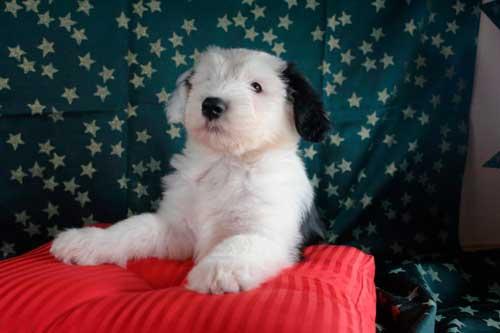 cachorro de bobtail en un sofá