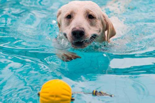 perro Labrador Retriever en piscina nadando hacia una pelota que flota