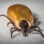 La imagen muestra una garrapata adulta marrón